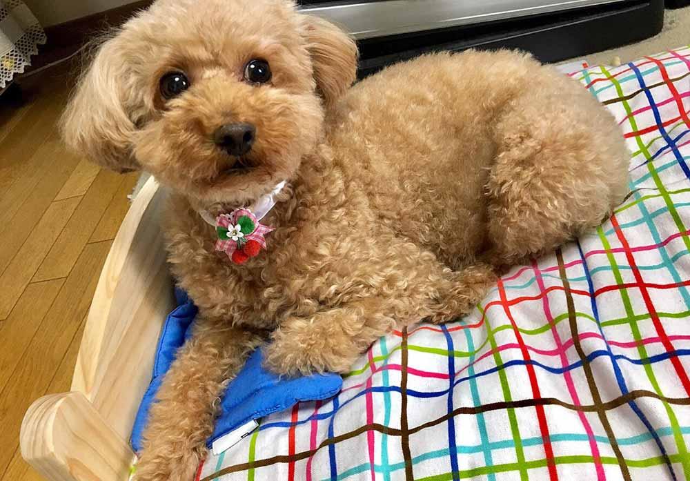 井上純菜の愛犬くぅ